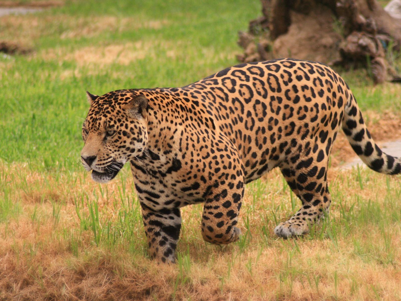 ягуар  животное